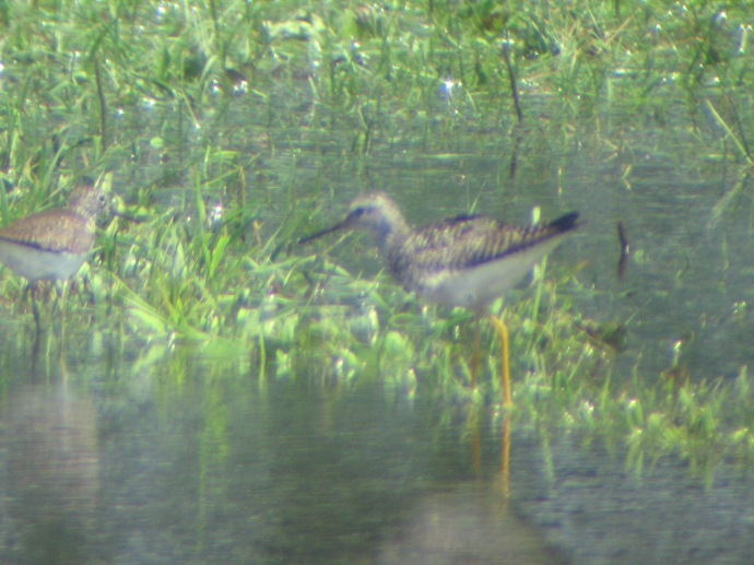 Solitary on left, Yellowlegs on right