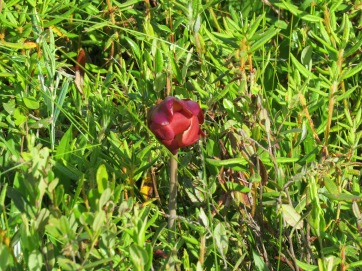 Pitcher Plant flower and Labrador Tea