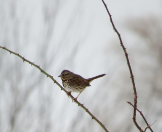 Really, a Song Sparrow.